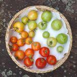tomatenDSCF0345