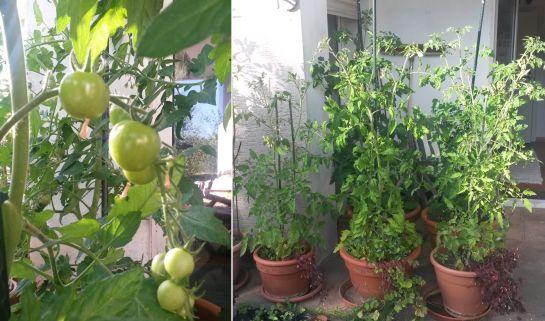 20140618_tomaten
